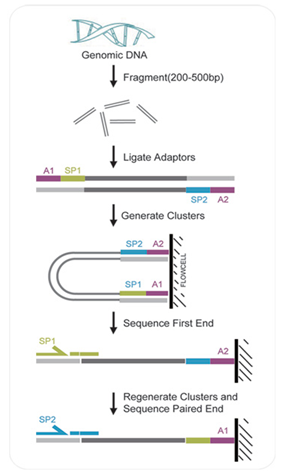测序文库构建       a.基因组dna片段化